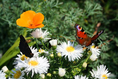 Beautiful couple. Butterfly - Nature pictures the beautiful flowers and gardens Stock Photos