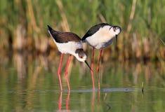 A beautiful couple of black-winged stilt Royalty Free Stock Photo