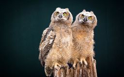 A beautiful couple of burrow owl. Sitting together on a tree royalty free stock photos