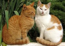 A beautiful couple of cats pose for a photo. stock images