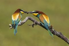 Beautiful couple of colorful European bee-eaters, Merops apiaster, in courtship stock images