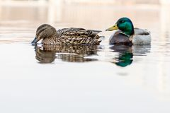 Beautiful couple of duck and drake sail on the river. Close up Royalty Free Stock Photo