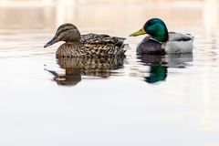 Beautiful couple of duck and drake sail on the river. Close up Stock Photos