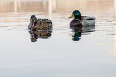 Beautiful couple of duck and drake sail on the river. Close up Stock Photography