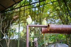 Beautiful couple of green eclectus parrots stock photos