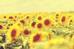 Beautiful couple having fun in sunflowers Royalty Free Stock Images