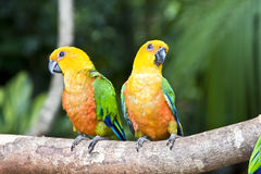 Beautiful couple of Jandaya Parakeet Parrot. Couple of multi colored parrot sitting in a tree royalty free stock photos