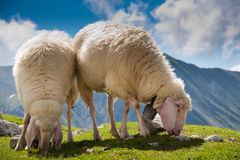 Beautiful couple of sheep grazing Royalty Free Stock Image