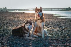 Beautiful couple Siberian husky dogs rest on shore against a calm river in warm summer evening. royalty free stock photography
