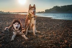 Beautiful couple Siberian husky dogs sits on shore against background calm river in warm evening light. Copy space royalty free stock photography