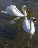Beautiful couple of swan swimming Stock Image