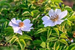 Beautiful couple of white blooming dogrose flower at summer sunset. Close up view royalty free stock images