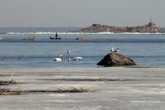 Beautiful couple of white swans is swimming in the lake, partly covered with ice on a sunny day in spring stock image