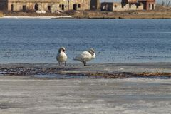 Beautiful couple of white swans is swimming in the lake, partly covered with ice on a sunny day in spring stock photos