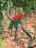 Beautiful couple of wild red macaws, seen at Buraco das Araras (. Macaws Hole), near Bonito, Brazil royalty free stock photos