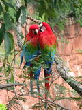 Beautiful couple of wild red macaws, seen at Buraco das Araras (. Macaws Hole), near Bonito, Brazil royalty free stock image