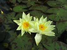 Yellow flower in a pond Stock Photos