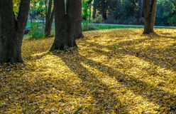 Autumn Shadows of Maple Trees With a Carpet of Yellow leaves. A beautiful covering of yellow leaves and shadows of the Maple Trees in the early morning in royalty free stock photo