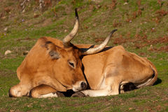 Beautiful cow. Beautiful brown cow in a field Stock Image