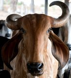 Beautiful cow at a cattle farm royalty free stock photo