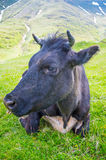 The beautiful cow Stock Photography