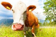 Beautiful cow Stock Image