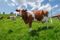 Cow with cowbell in an alpine meadow in the swiss alps in front of a farm with swiss flag. Beautiful cow with cowbell in an alpine pasture in front of a typical royalty free stock photography