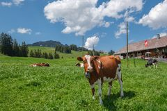 Cow with cowbell in an alpine meadow in the swiss alps in front of a farm with swiss flag. Beautiful cow with cowbell in an alpine pasture in front of a typical stock image