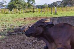 Beautiful cow in a farm in venezuela royalty free stock photo