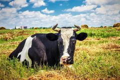 Beautiful cow on the field. Closeup of beautiful cow on the field and cloudy sky background Stock Image