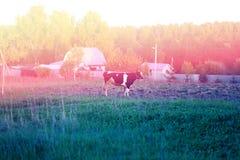 Beautiful cow grazing Stock Photos