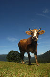 Beautiful cow in the meadow against the sky Stock Photos