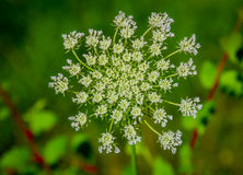 Beautiful Cow Parsnip Heracleum Stock Photos