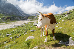 Beautiful cow Royalty Free Stock Images