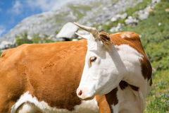 Beautiful cow Stock Photography