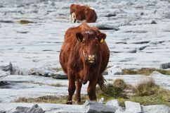 Beautiful cow sticking its tongue out in Burren. Beautiful cow sticking its tongue out to the camera in Burren Stock Image