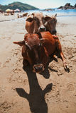 Beautiful cow on Vagator beach Royalty Free Stock Photography