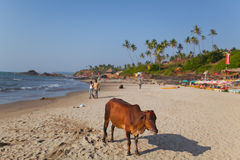 Beautiful cow on Vagator beach stock image