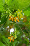 Beautiful of Cowslip Creeper Stock Photography
