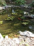 Beautiful coy pond. Nice coy pond with lily pads royalty free stock photography