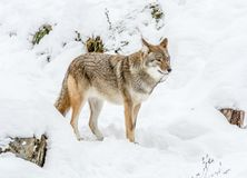 Beautiful Coyote Posing in the November Snow stock images