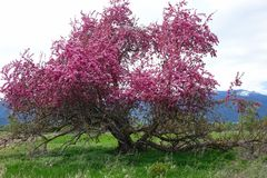 Beautiful Crab Apple Tree - Montana. A beautiful, broken down old crab apple tree is in full bloom in Montana`s Bitterroot Valley, near Hamilton stock images