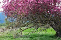 Beautiful Crab Apple Tree - Montana. A beautiful, broken down old crab apple tree is in full bloom in Montana`s Bitterroot Valley, near Hamilton royalty free stock photography