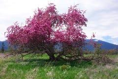Beautiful Crab Apple Tree - Montana. A beautiful, broken down old crab apple tree is in full bloom in Montana`s Bitterroot Valley, near Hamilton stock photo