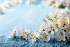Beautiful crab plum tree blossoms against a blue background.. royalty free stock images