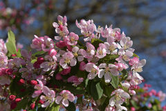 Beautiful Crabapple in Spring Stock Photography