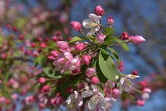 Beautiful Crabapple in Spring Stock Images