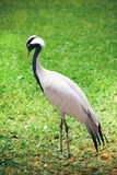 Beautiful crane bird Stock Photos