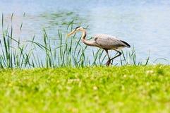 Beautiful crane beside lake Stock Photos