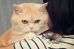 Beautiful cream cat sits on the shoulder of a dark-haired girl stock photography